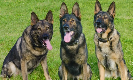 Chico, Edy and Miky, German Shepard Police Canines